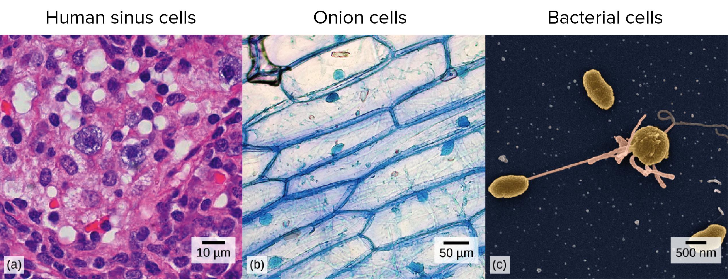 Eukaryotic animal cell microscope