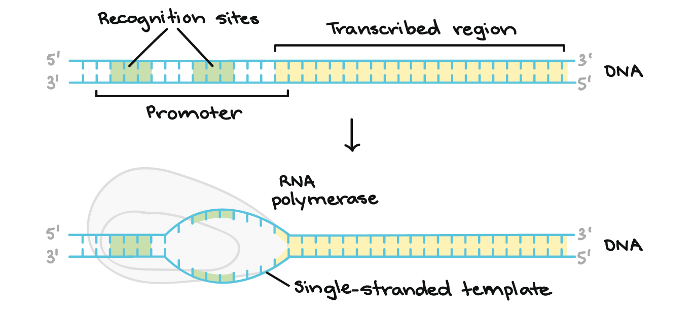 Betathalassemia  Genetics in Medicine