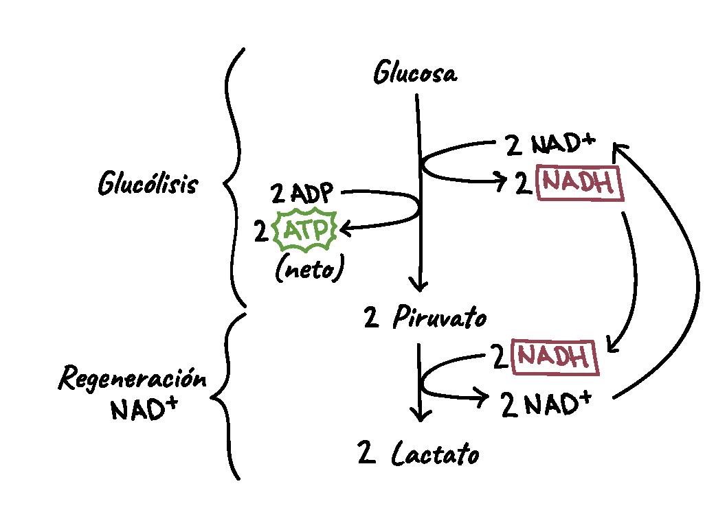 Respiración celular | Biología | Ciencia | Khan Academy