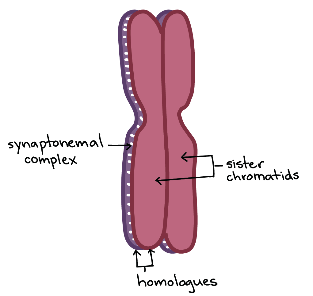 Image Of Two Homologous Chromosomes Positioned One On Top The Other And Held Together