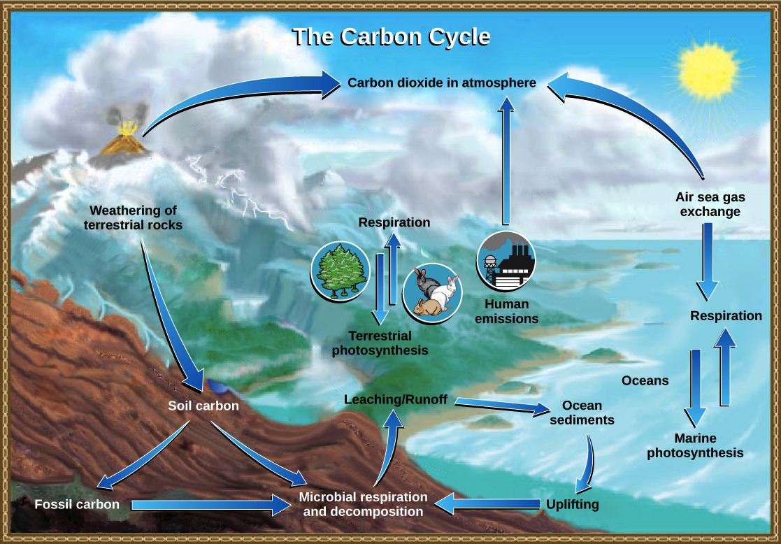 The carbon cycle article ecology khan academy the carbon cycle ccuart