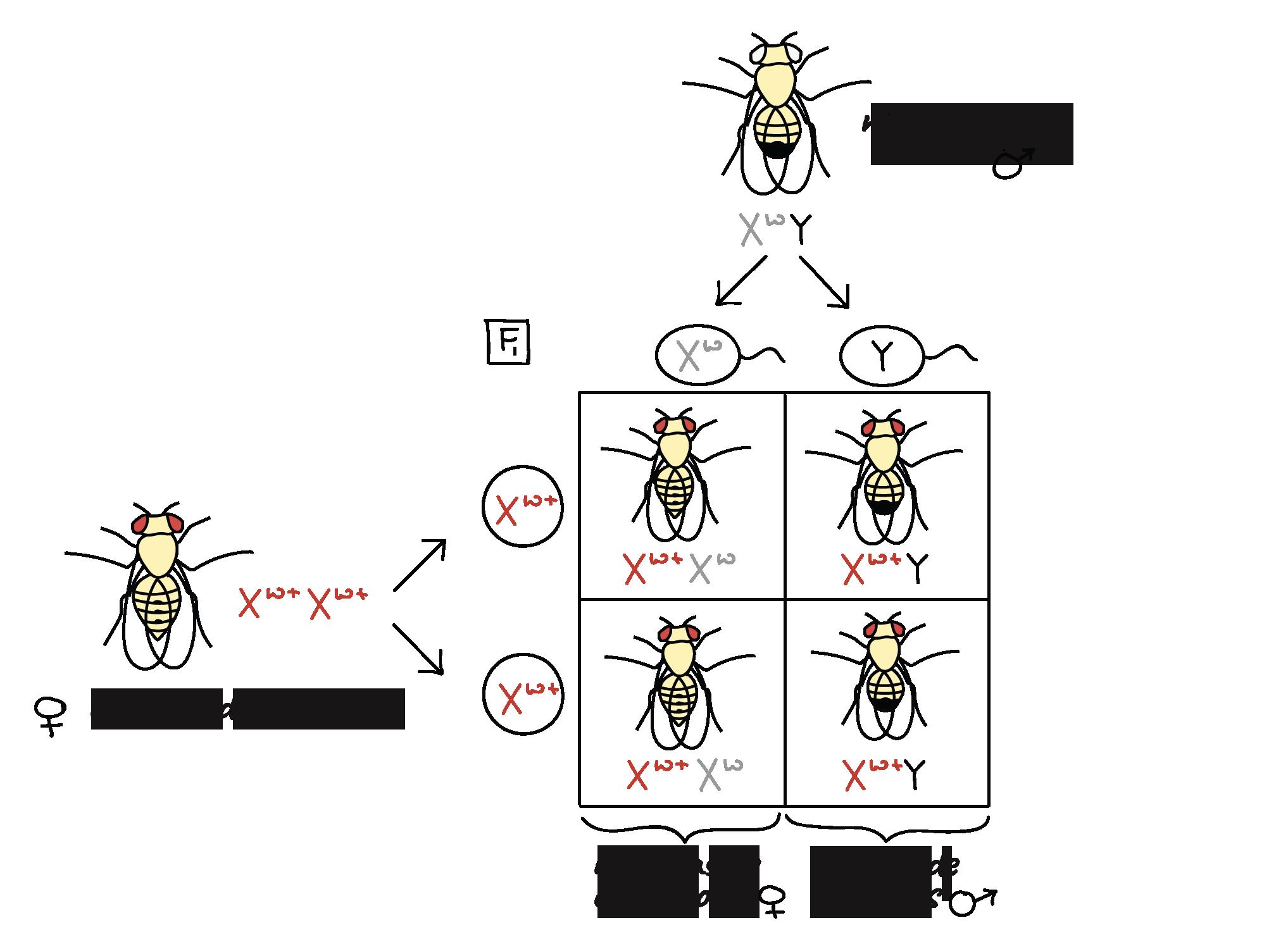 Ligamiento genético y mapeo (artículo)   Khan Academy