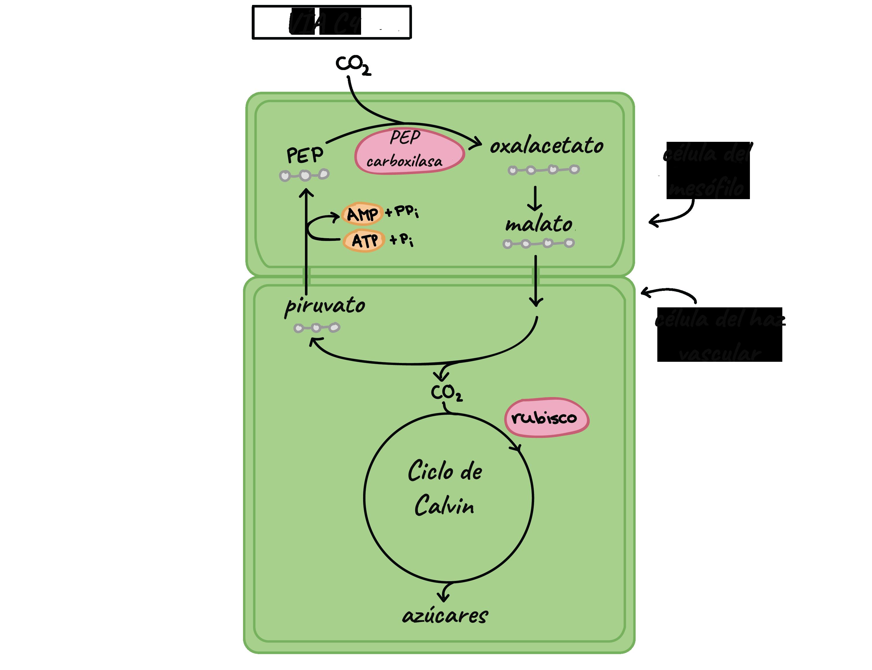 Plantas C3, C4 y CAM (artículo) | Khan Academy