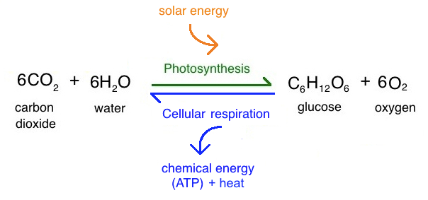 the photosythesis Photosynthesis vocabulary for a grade 8 unit on photosynthesis and respiration at igb international school in malaysia learn with flashcards, games, and more — for free.