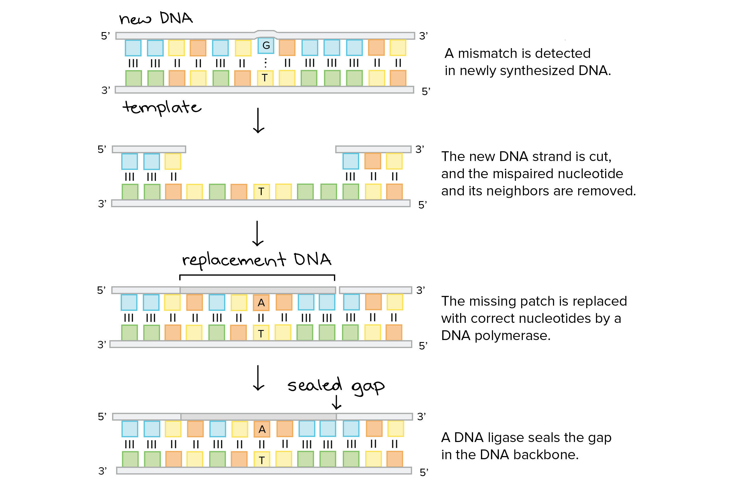 Dna replication homework for Explain how dna serves as its own template during replication