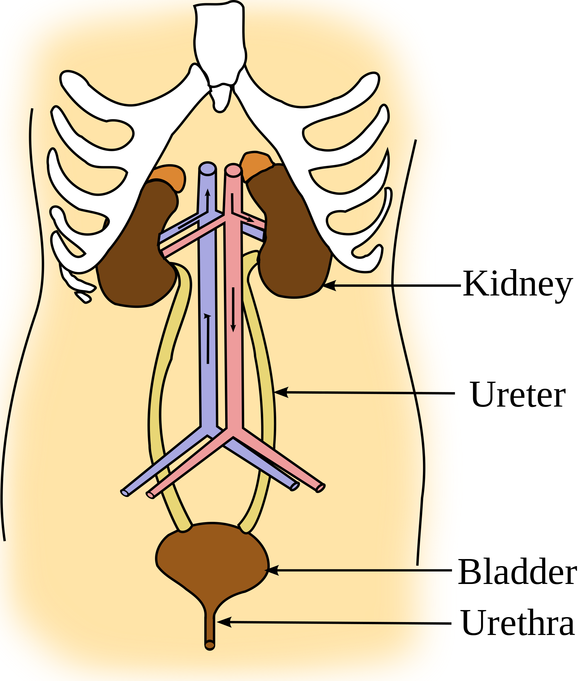 Kidney Function And Anatomy Video Khan Academy