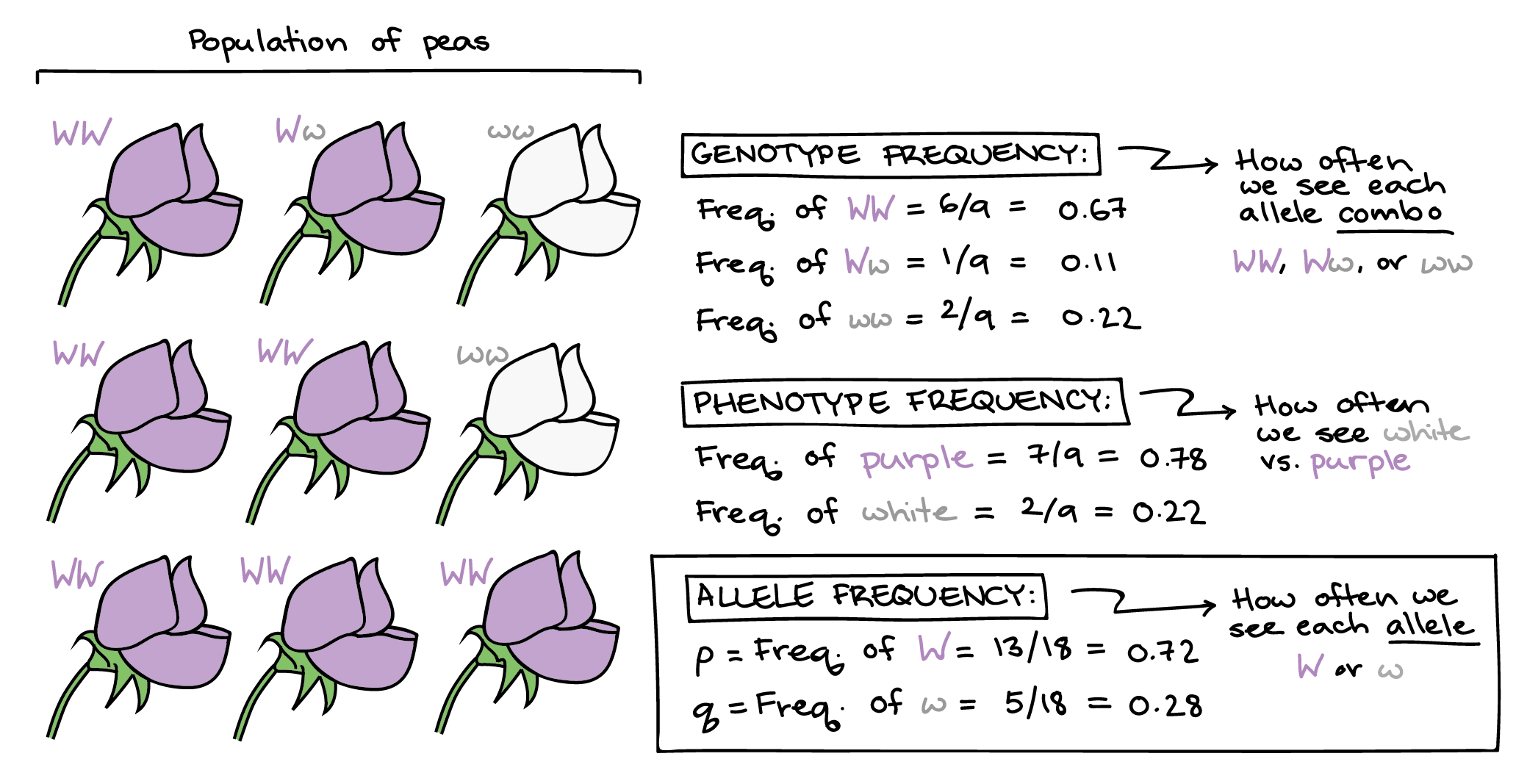 Allele Frequency The Gene Pool Article Khan Academy