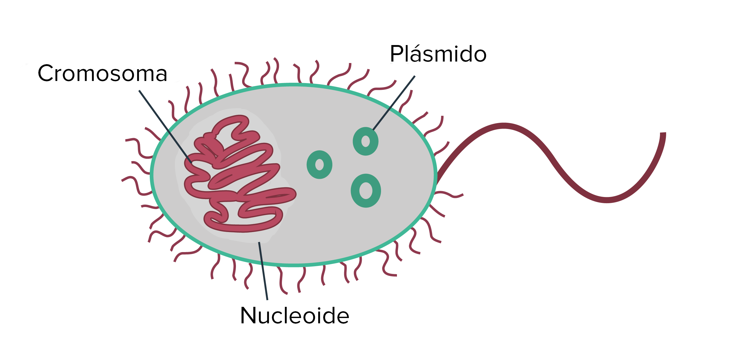 La estructura de los procariontes (artículo) | Khan Academy
