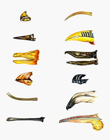 An illustration of different bird beaks © Visuals Unlimited/CORBIS