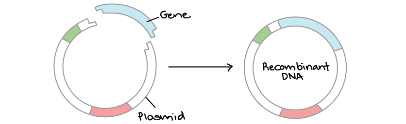 Overview dna cloning article khan academy diagram showing the construction of a recombinant dna molecule a circular piece of plasmid dna has overhangs on its ends that match those of a gene ccuart Gallery