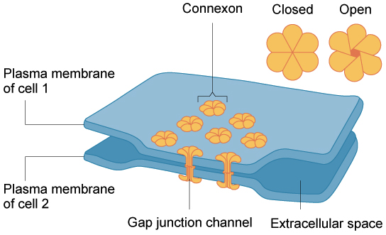 The extracellular matrix and cell wall article khan academy ccuart Images