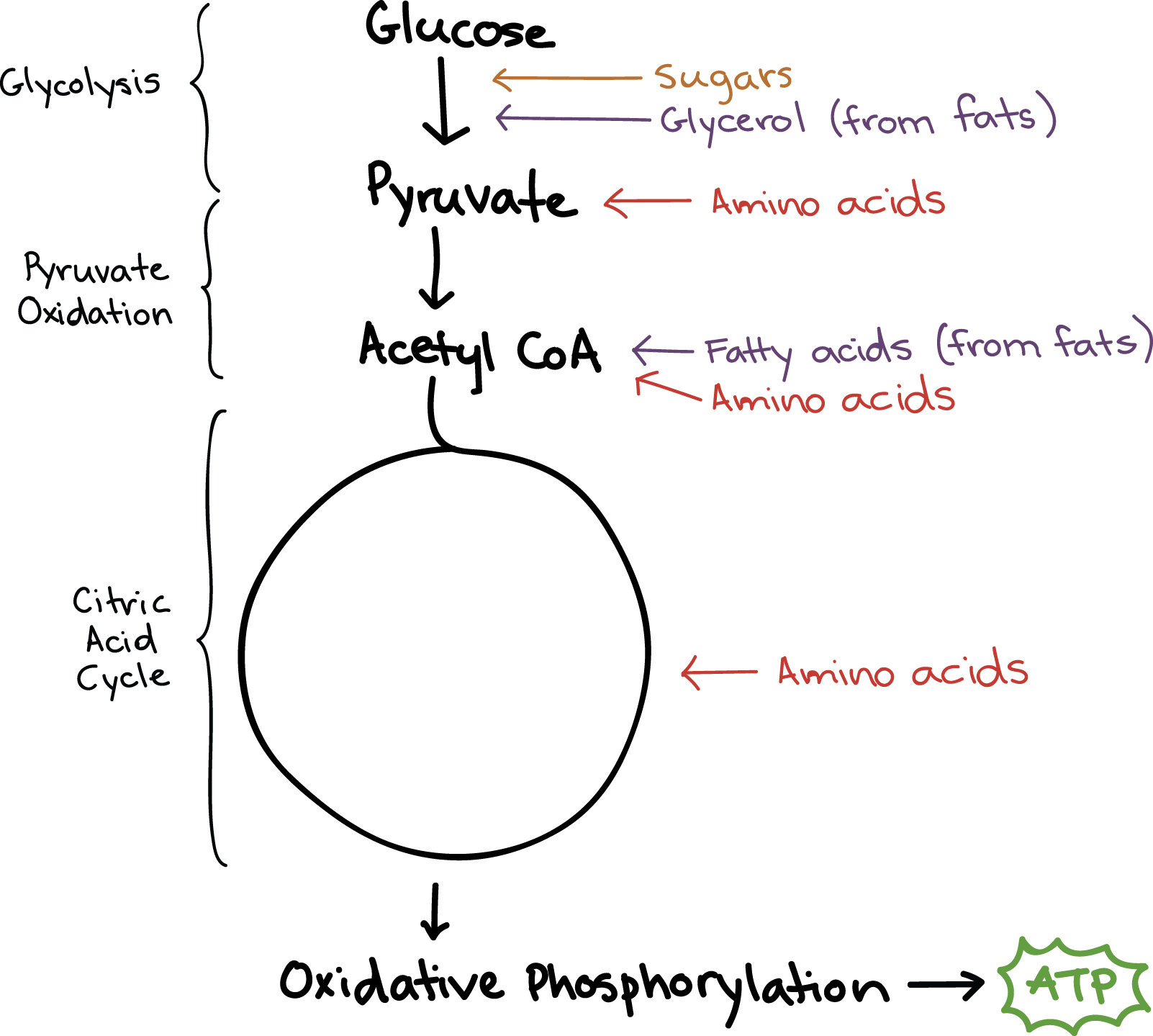 Connections between cellular respiration and other pathways ...