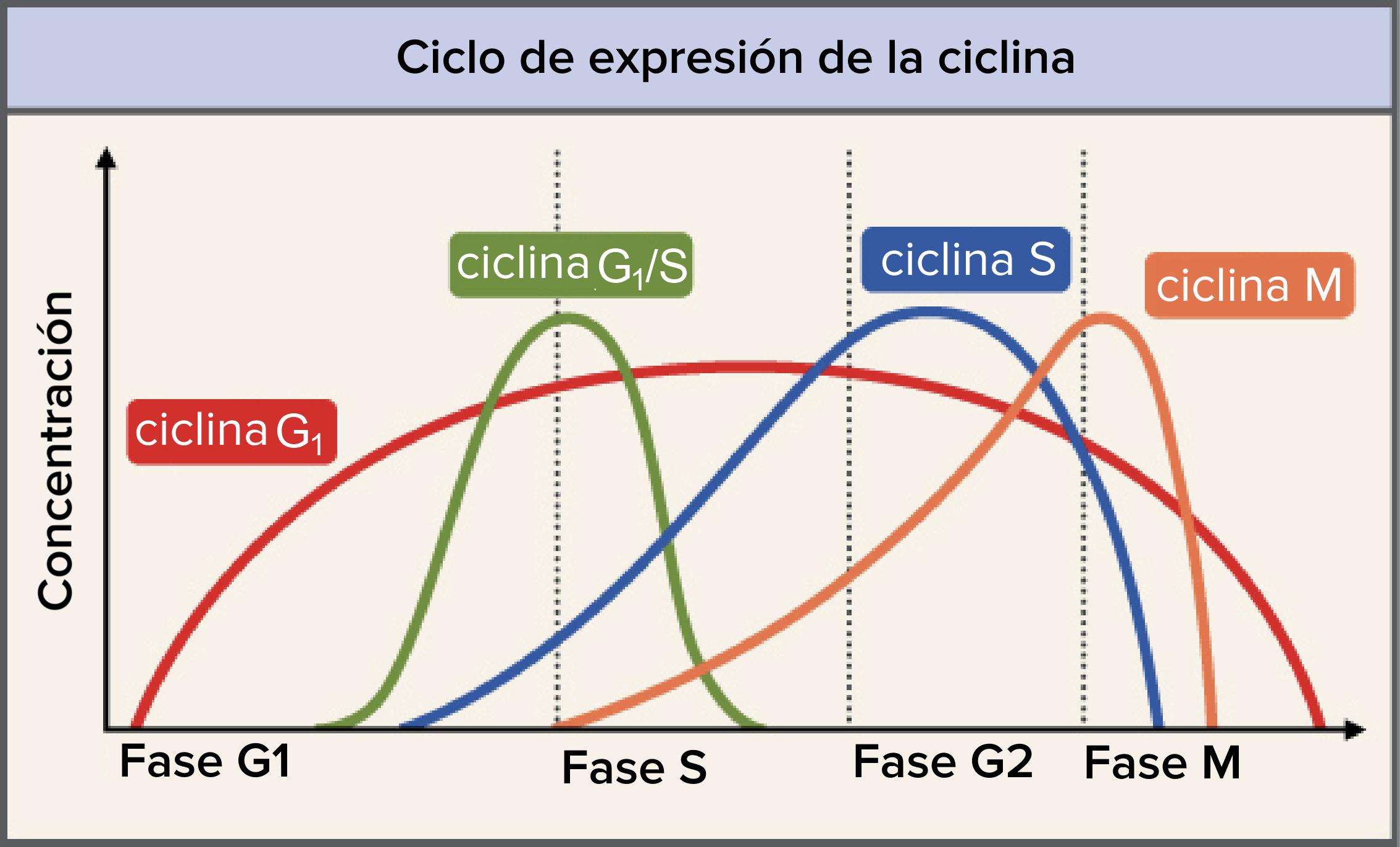 Puntos de control del ciclo celular (artículo) | Khan Academy