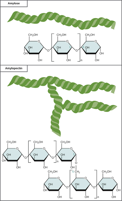 Carbohydrates article macromolecules khan academy storage polysaccharides ccuart Choice Image