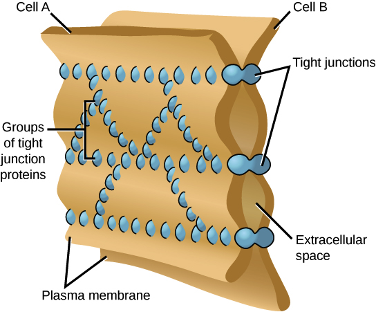 Cell cell junctions article khan academy image of the membranes of two cells held together by tight junctions the tight junctions are like rivets and they are arranged in multiple strands that publicscrutiny Image collections