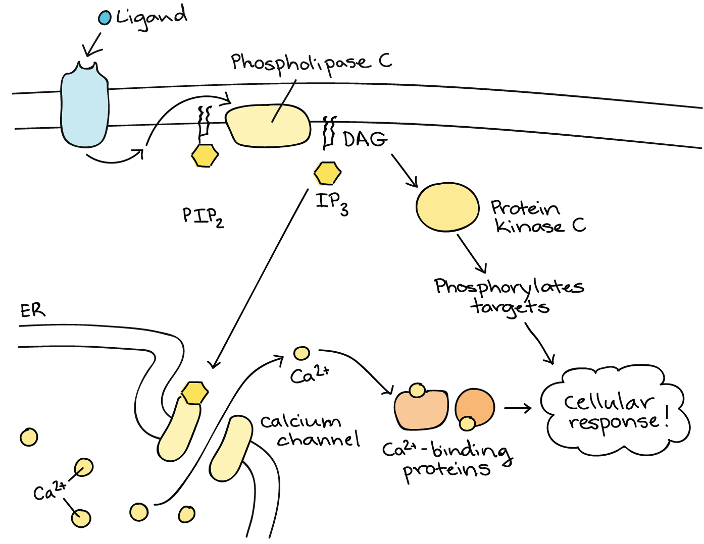 Signal Transduction Pathway Cell Signaling Article Khan Academy Relay Switch Animation