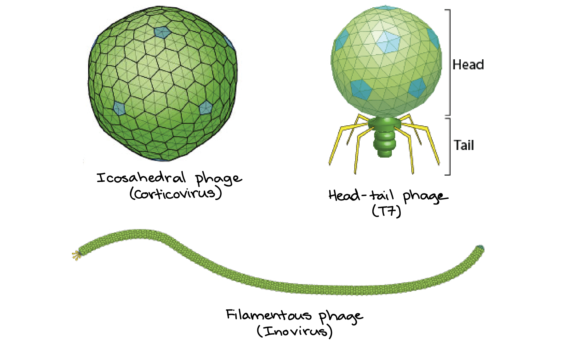 Icosahedral Phage Head Tail And Filamentous