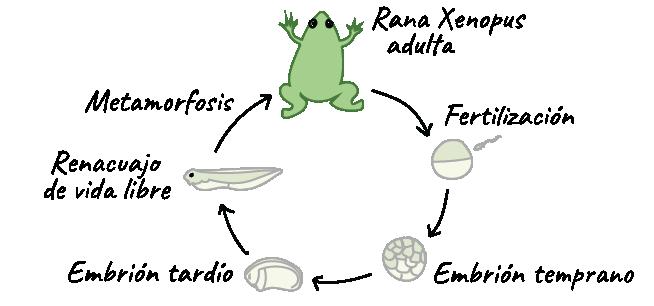 Ejemplos del desarrollo en ranas (artículo) | Khan Academy