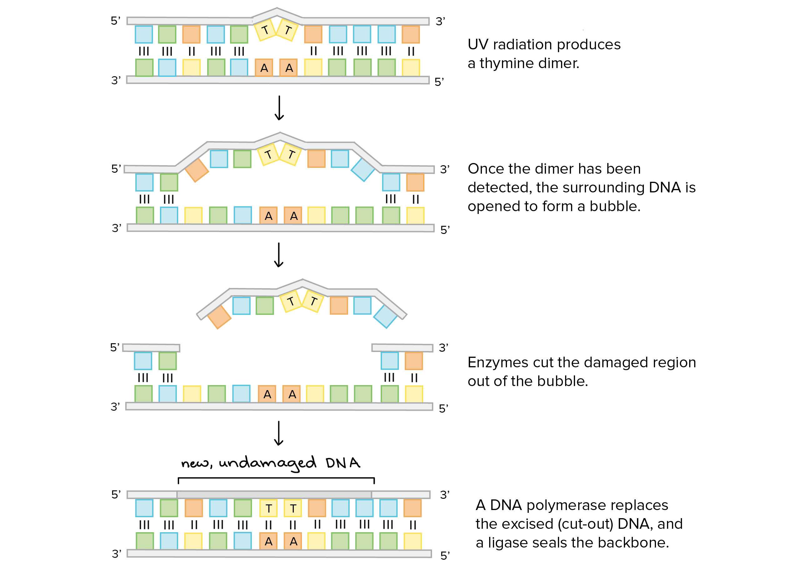 worksheet Dna Replication Practice Worksheet Answers dna replication practice khan academy