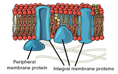 Plasma Membrane | Structure, Function of Plasma Membrane | Biology ...