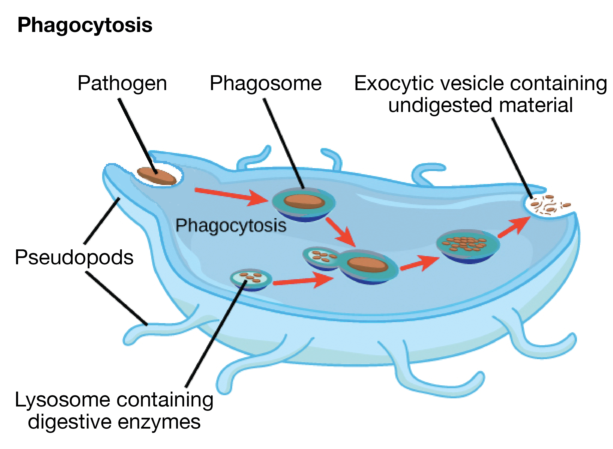 diagram of lysosomes in a plant cell gallery how to