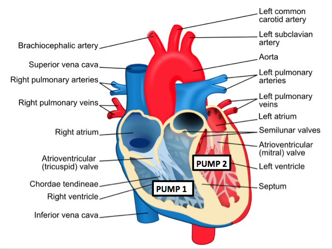 flow through the heart (video) | khan academy, Cephalic vein