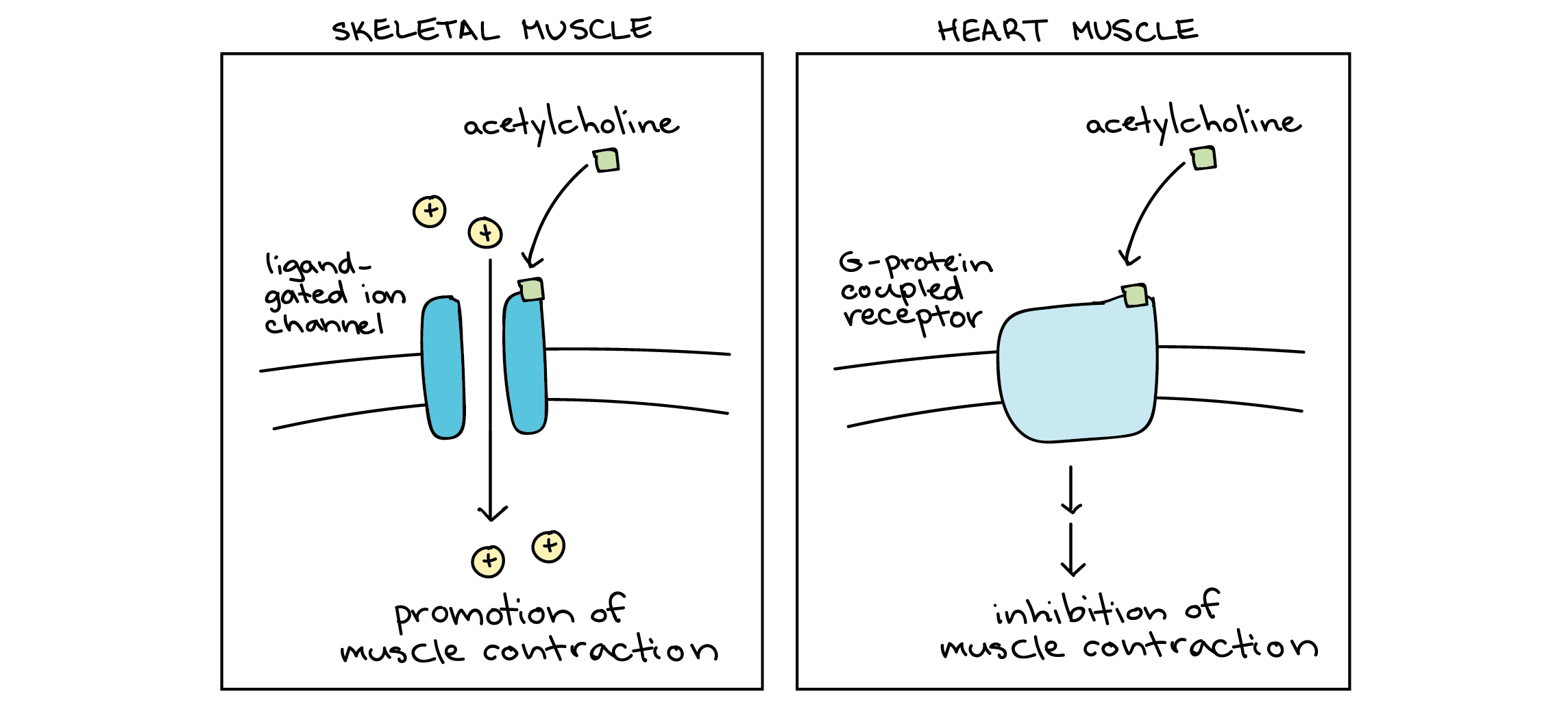 Signal Transduction Pathway Cell Signaling Article Khan Academy This Diagram Shows The Muscles In Heart Type Specificity Response To Acetylcholine Left Panel Skeletal Muscle