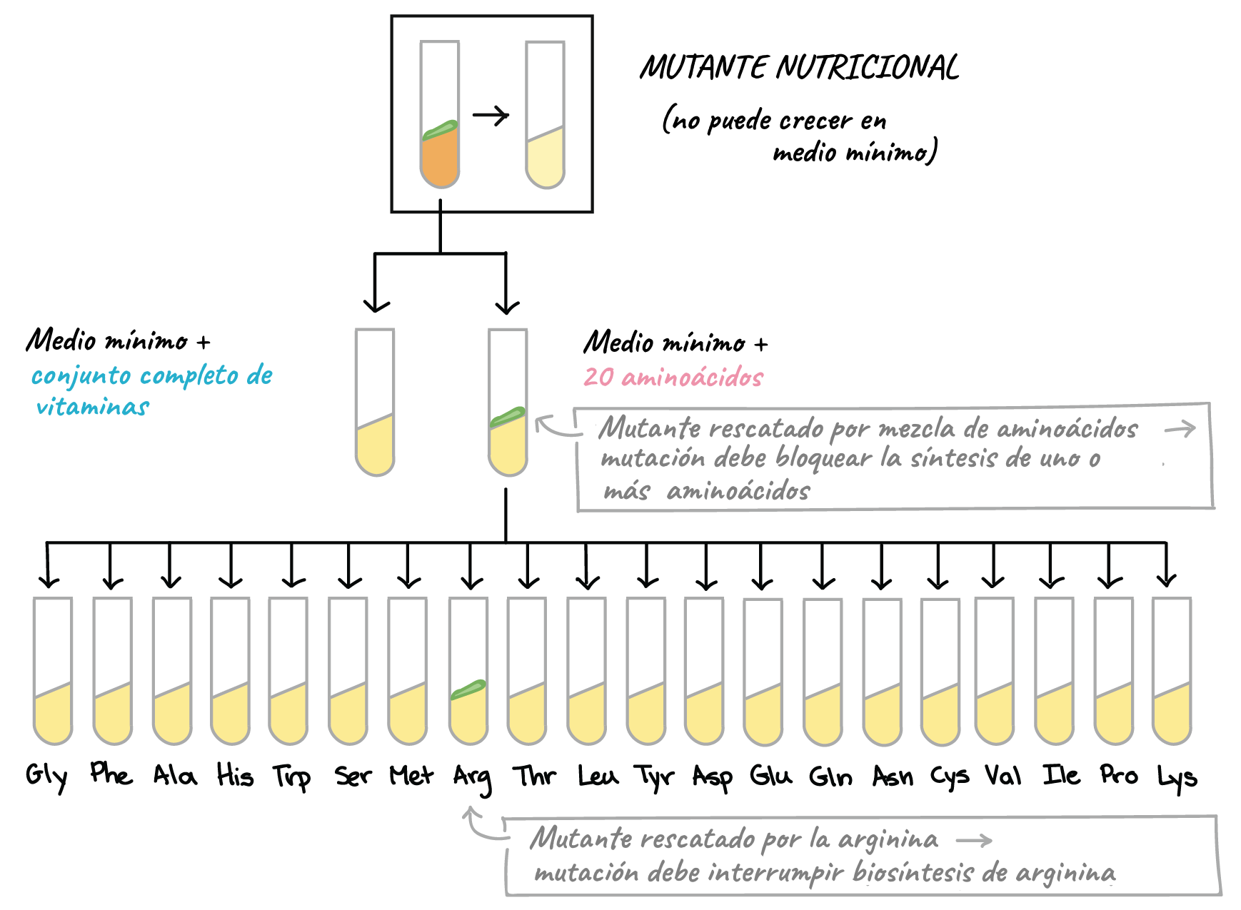 El código genético (artículo) | Khan Academy