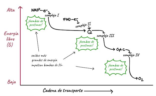 Diagrama De Flujo Respiracion Celular Gallery How To Guide And Refrence