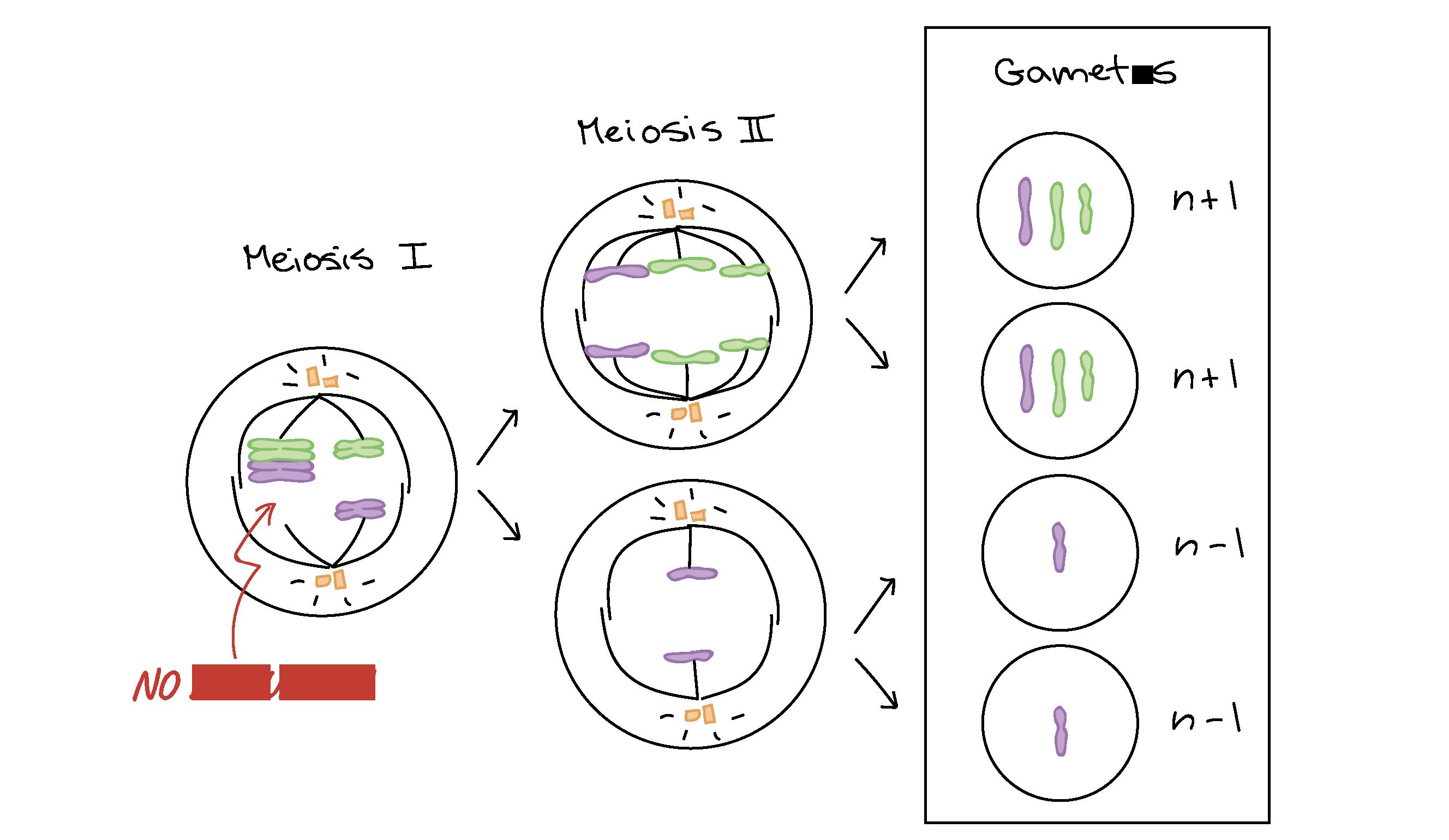 Aneuploidía y reordenamientos cromosómicos (artículo) | Khan Academy