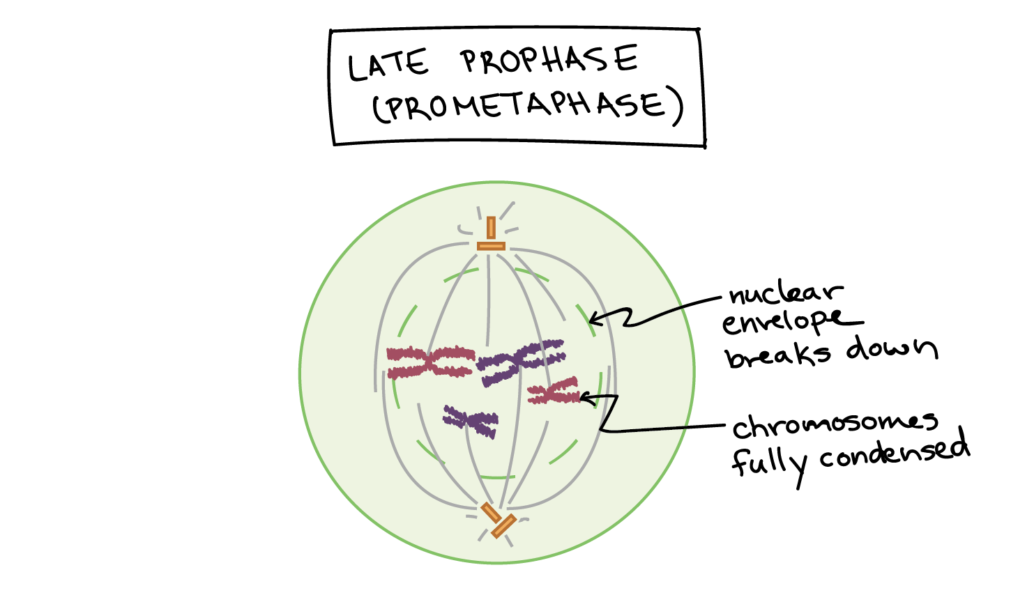 Mitosis Video The Cell Cycle And Khan Academy Animal Diagram Science Pinterest Animals