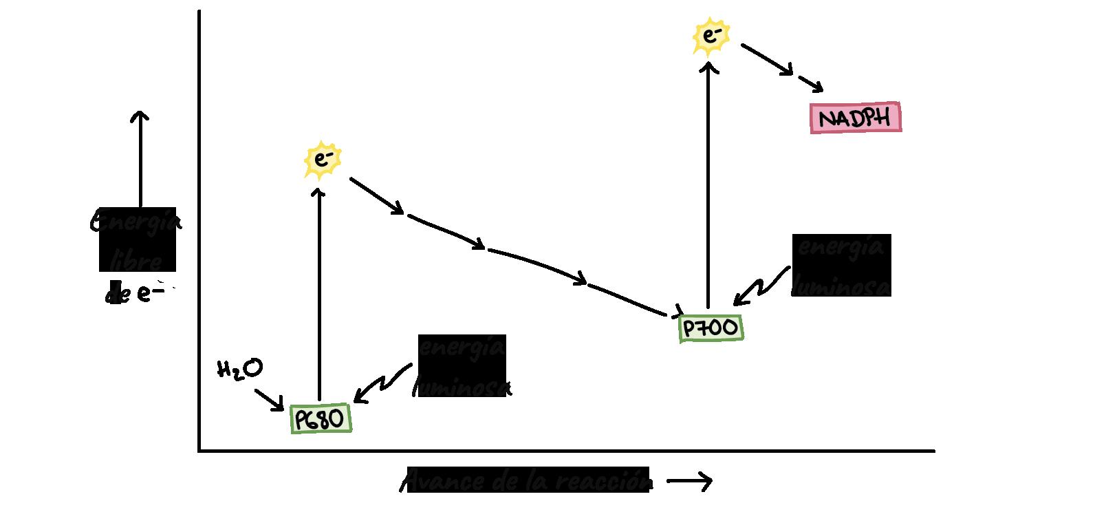 Luz y pigmentos fotosintéticos (artículo) | Khan Academy