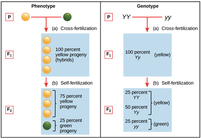 100 Pea Plants Dihybrid Crosses Worksheet