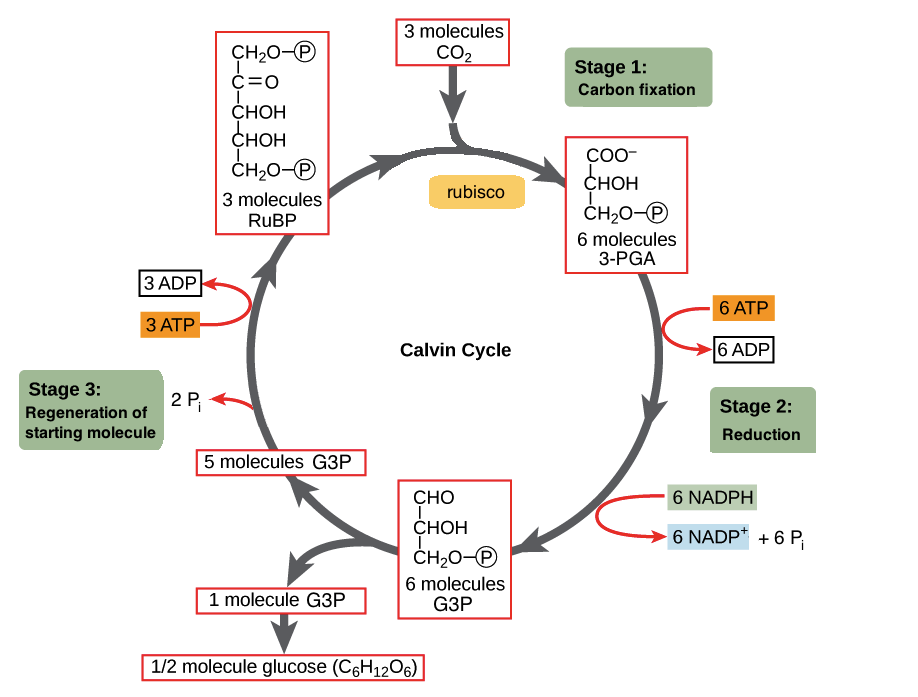 Simple calvin cycle diagram wiring diagram database the calvin cycle article photosynthesis khan academy rh khanacademy org carbon cycle diagram simple glycolysis diagram ccuart Choice Image