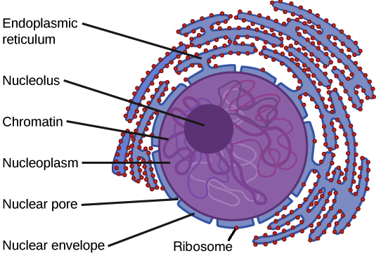 Nucleus and ribosomes article khan academy diagram of the parts of the nucleus of a eukaryotic cell ccuart Images