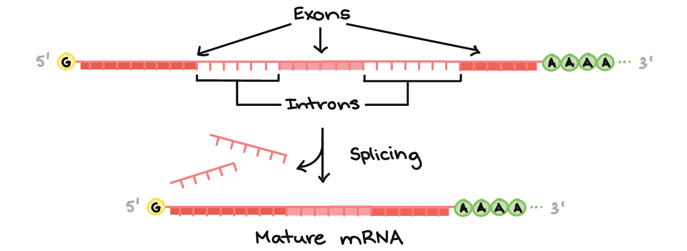 Transcription An Overview Of Dna Transcription Article Khan Academy