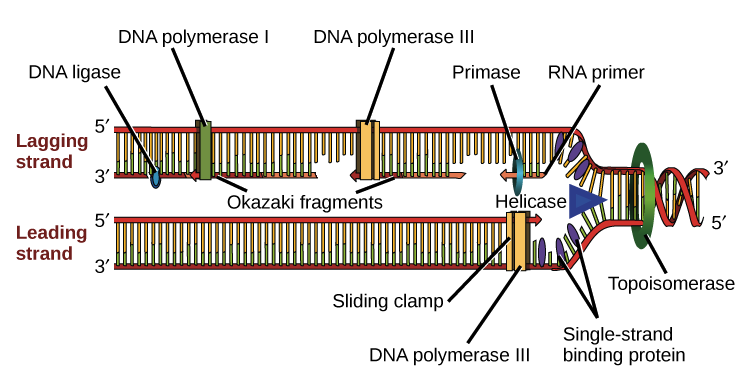 simple dna replication animation