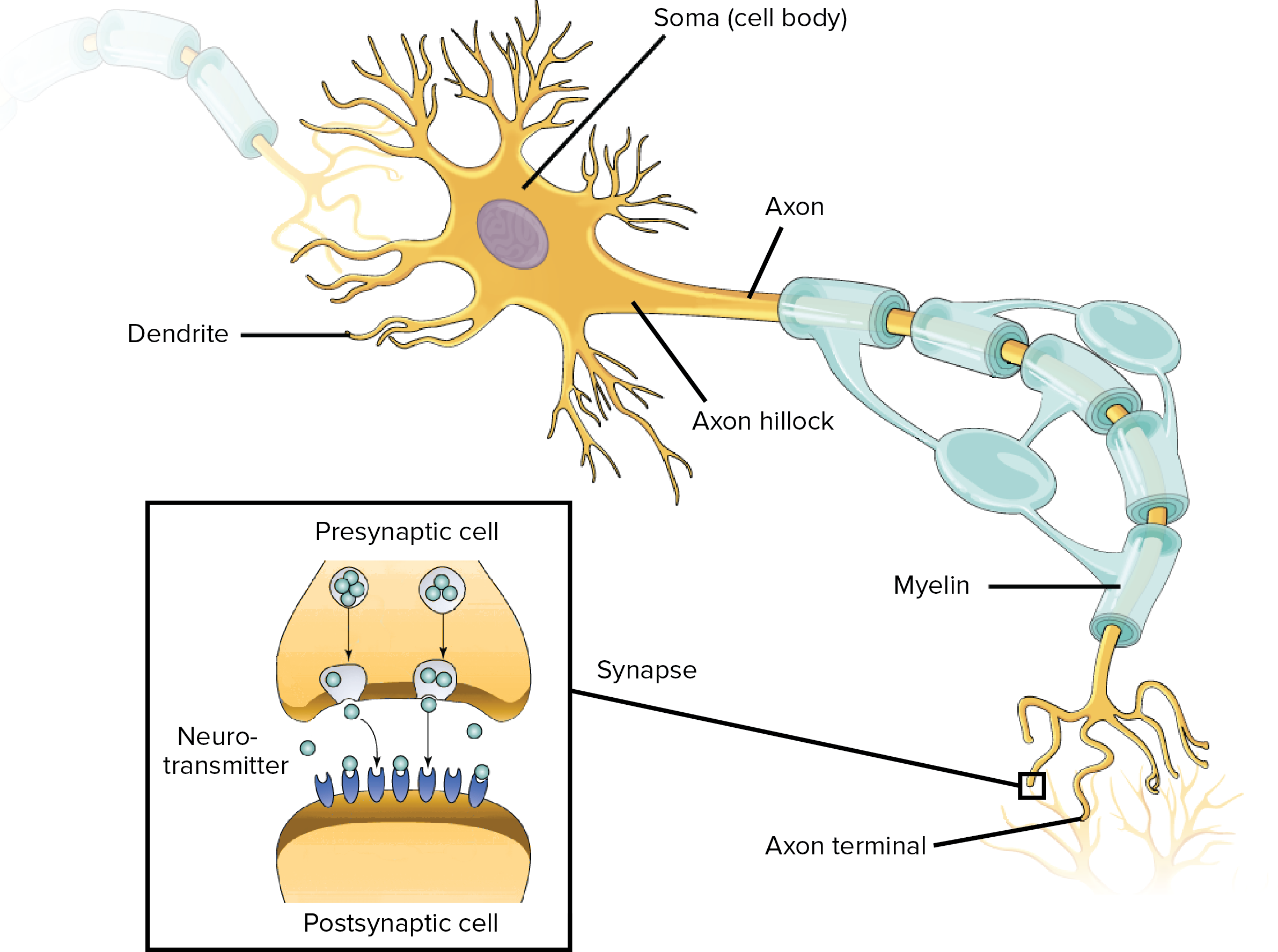 Overview of neuron structure and function article khan academy dendrites ccuart Images