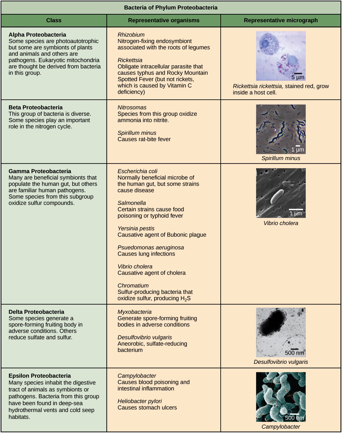 bacteria classification