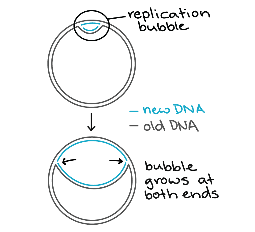 Speed and precision of DNA replication video – Dna Replication Activity Worksheet