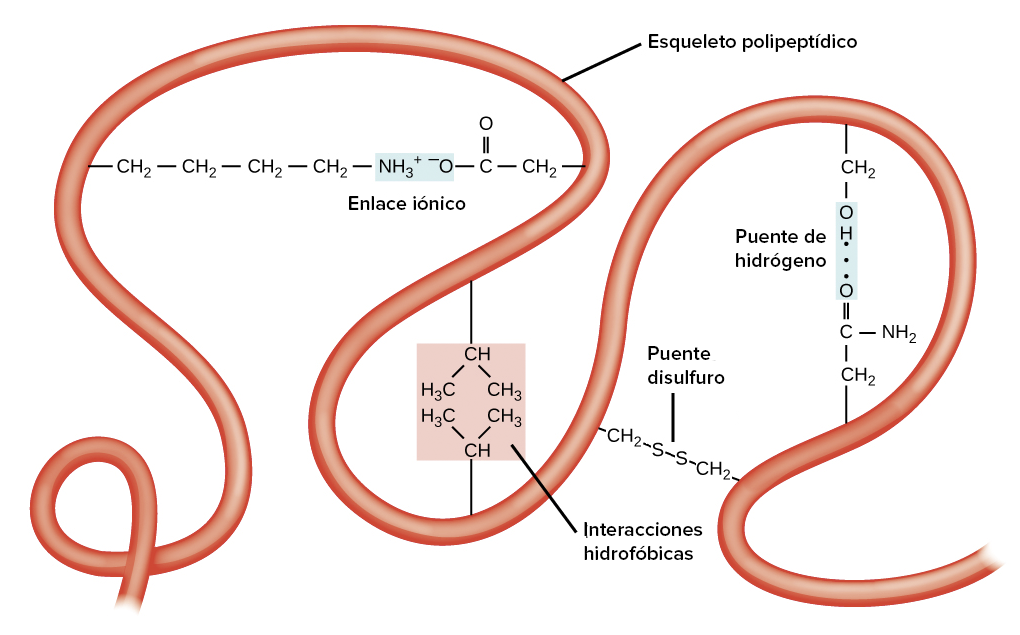 Órdenes de la estructura de la proteína (artículo) | Khan Academy