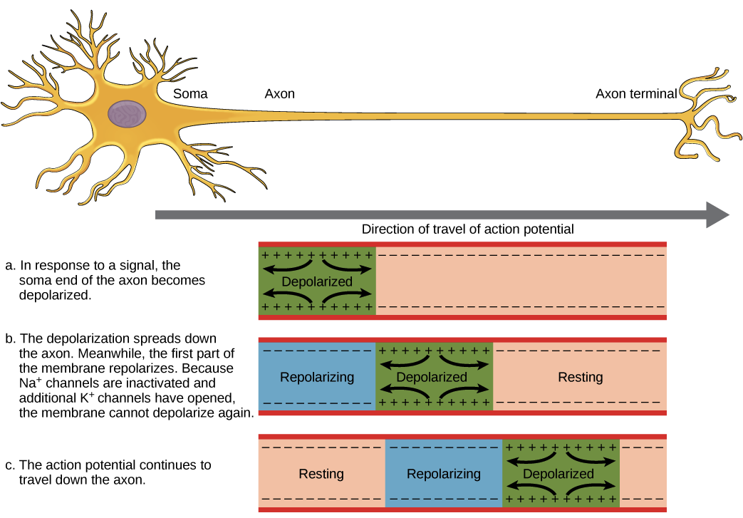 Overview Of Neuron Structure And Function Article Khan Academy