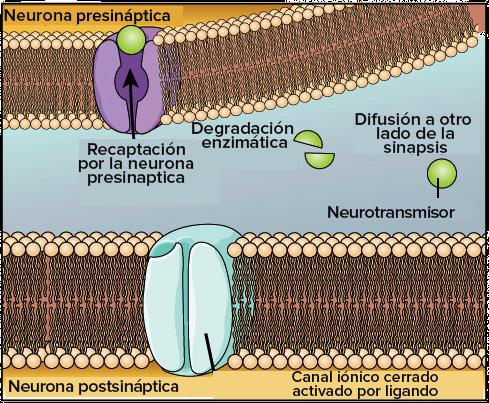 Funcin y estructura de la neurona artculo  Khan Academy