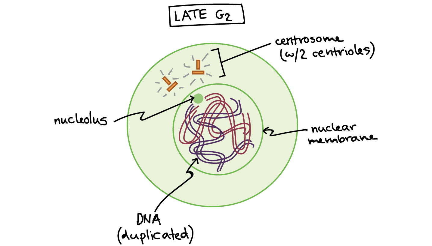 Phases of mitosis mitosis biology article khan academy ccuart Images