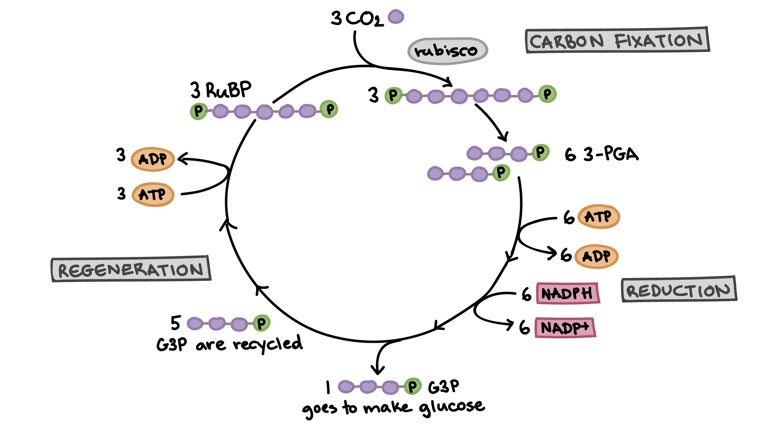 The Calvin Cycle Article Photosynthesis Khan Academy Offset Printing Process Flow Diagram Free Download Wiring Of Illustrating How Fixation Three Carbon Dioxide Molecules Allows