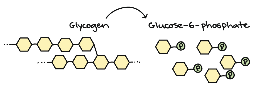 Connections between cellular respiration and other pathways article if blood sugar levels drop the glycogen will be broken down into phosphate bearing glucose molecules which can easily enter glycolysis ccuart Images
