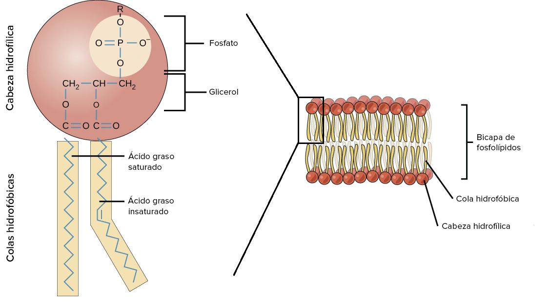 Lípidos (artículo) | Macromoléculas | Khan Academy