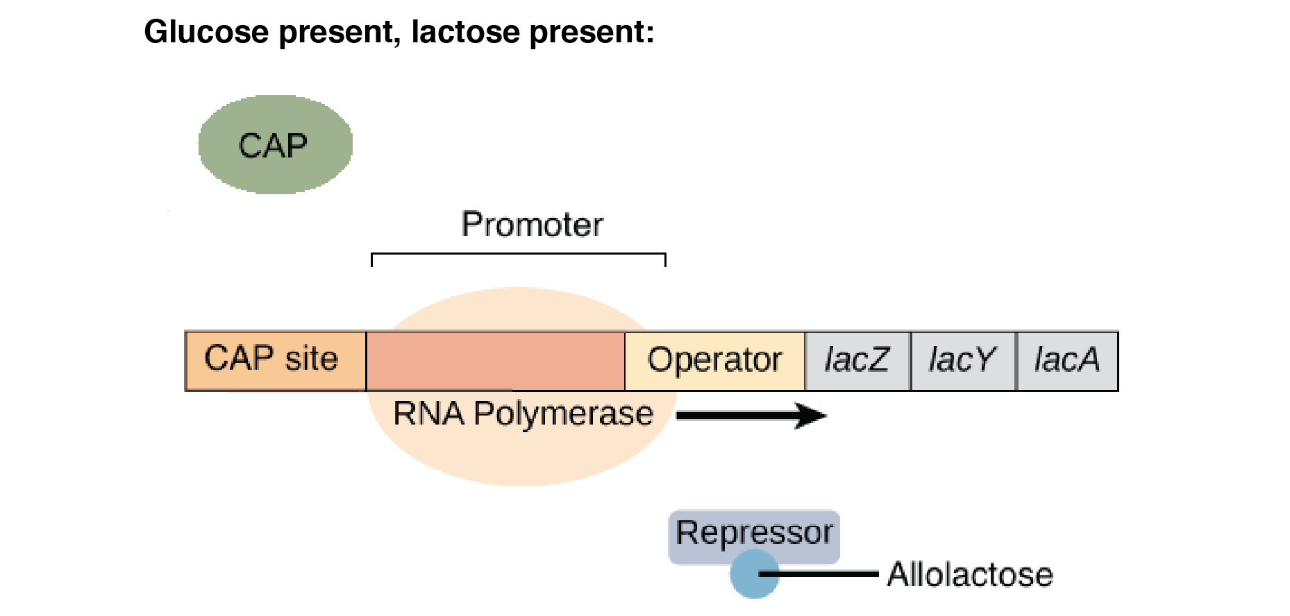 Overview: Gene regulation in bacteria (article) | Khan Academy