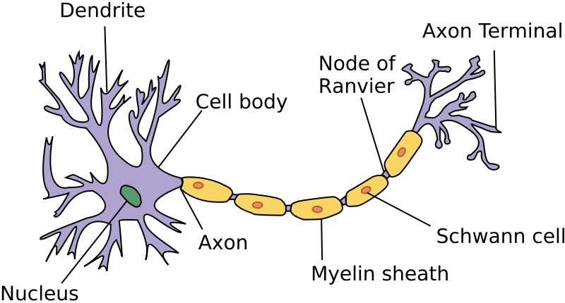 The nervous and endocrine systems review article khan academy diagram of a neuron ccuart Gallery