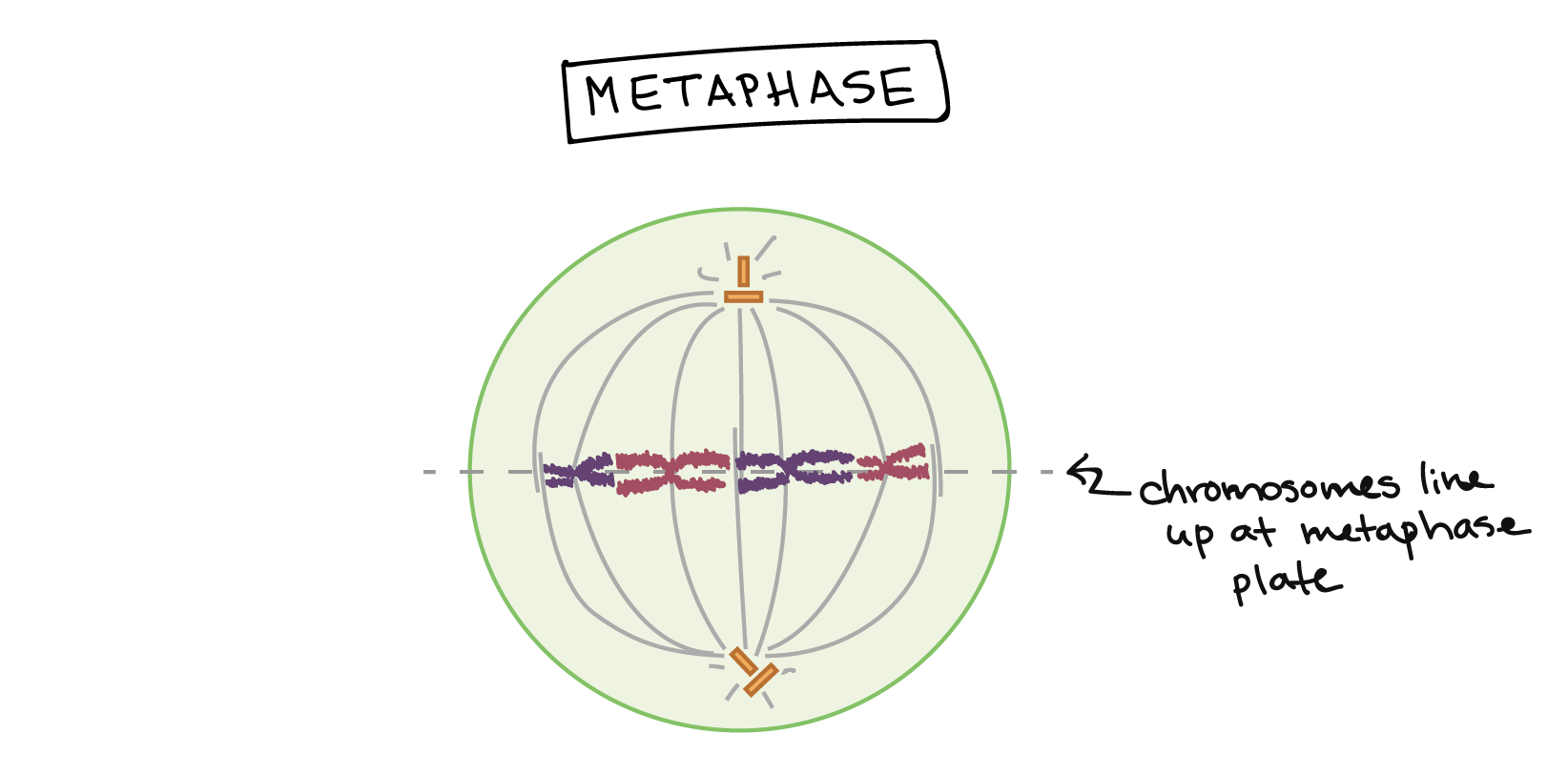 Phases of mitosis | The cell cycle | Cell division (leçon) | Khan ...